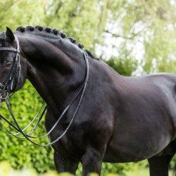 Driessen Dressage Horses